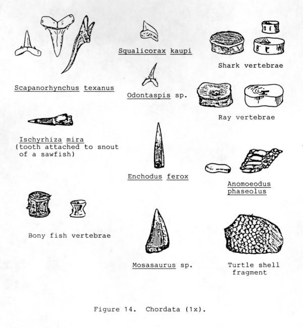 vertebrates phylum chordata the delaware geological survey