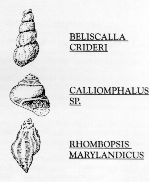 clams snails and squid phylum mollusca class gastropoda the